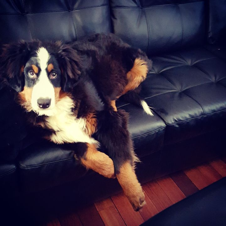 Wes Hill's Bernese Mountain Dog anxiously waits for cuddles...or a walk down the Schneider Creek Trail Kitchener